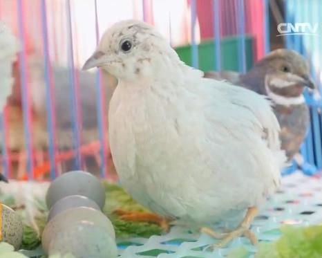 迷你珍禽桂花雀养殖的经济效益分析