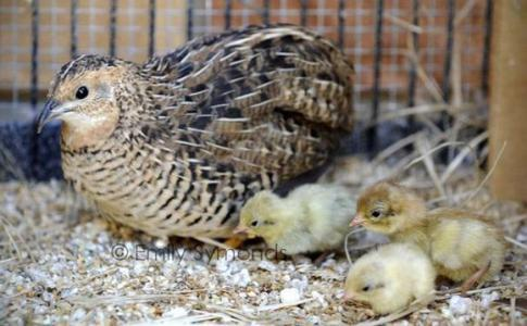 桂花雀——我国最小的鸡
